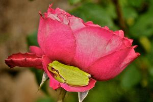 Frog on a Rose 2 by cgphotopro