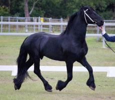 STOCK - Friesian Show 2012-130 by fillyrox