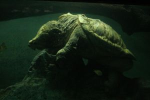 Alligator Snapping Turtle by crumpstock
