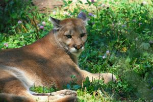 Resting Cougar by mydigitalmind