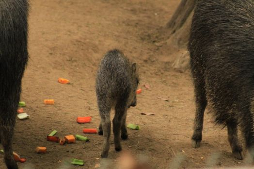Chacoan Peccary Stock Photo 2 by lightningspamstock