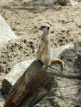 Meercat by Hitomii