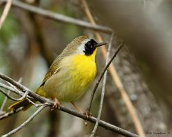 Comon Yellow Throat Warbler 2014 by natureguy