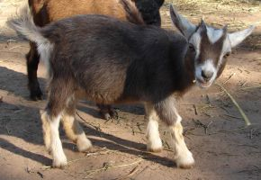 Domestic Goat Stock 6 by FantasyStock