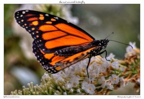 the wet monarch butterfly by yellowcaseartist