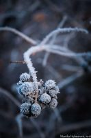 Frosted Berries by amrodel
