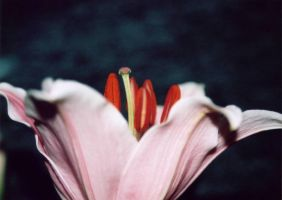 Lily side view 0019 by small-stock