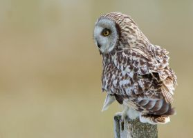 Preoccupied - short-eared owl by Jamie-MacArthur