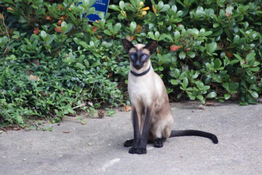 Siamese Cat by LightningShdw