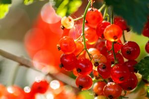 Red Currant by sztewe