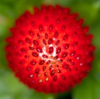 wild strawberry 3 by GerbenT