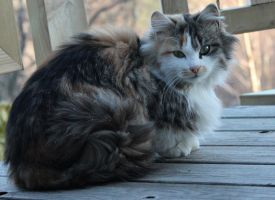norwegian forest cat - tricolor by Blodsravn