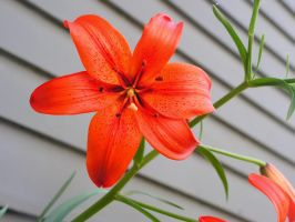 Tiger Lilly I by raemack