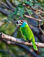 Blue-throated Barbet by tectonixr