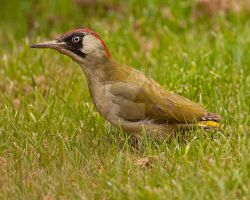Green Woodpecker by pixellence2