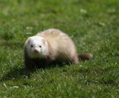 Ferret by narutosmine