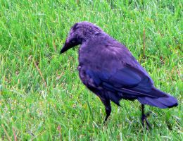 A young Jackdaw by OldEric