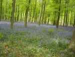 bluebells woods by loobyloukitty