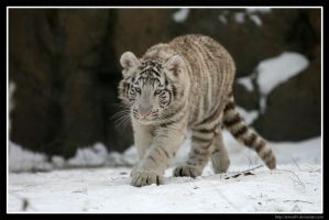 White Tiger III by Arwen91