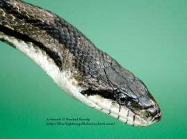 Greenish Rat Snake by 8TwilightAngel8
