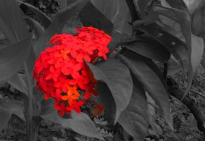 blooming red by laxmikantchaware