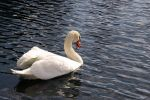 swan getting ready to drink by pril