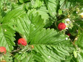 wild strawberry and its leaf by Promiseoftheraven