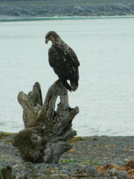 Eagle on Log by blimpaway