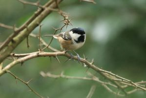 The Coal tit by Weekendphotographer