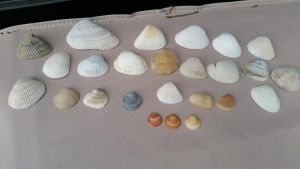 shells from my local beach! by Vesperwolfy87