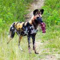 Wild Dog Hunting by WhiteBook