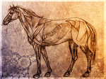 Equine Musculature by vyxe