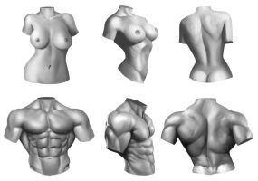 Male/Female anatomy torso study by Xelgot