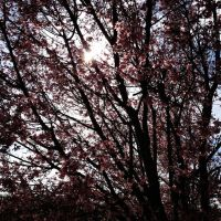 Cherry Blossom Song by UneasilyInfluenced