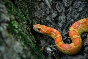 Corn snake for a walk by Scotchupal