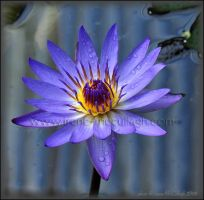 - waterlily - by substar