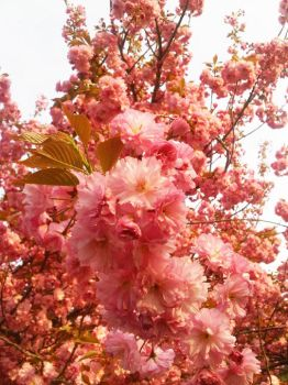 Cherry Blossoms by jenr8