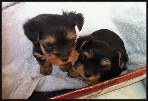 Puppies 2 by alfa