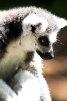Ring tailed Lemur by ClickedPencils
