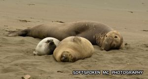 elephant Seal 2 by softspokenmc