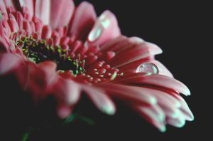 Drops of Gerbera by RickHaigh
