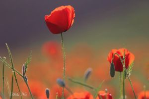poppies by alex-nekho