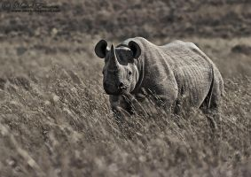 The Black Rhino by MorkelErasmus