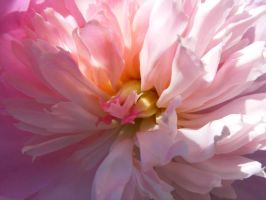 Peony 1 by tereanna