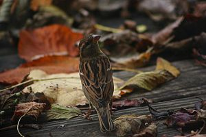 Finch 2 by Dellessanna