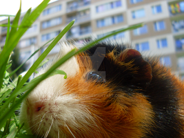Agatka the Guinea Pig by Skritecek2