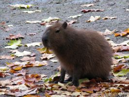 Meet with a cute capybara by Momotte2