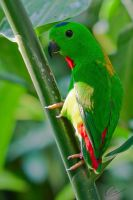 Blue Crowned Hanging Parrot by cheslah