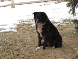 Border Collie 8 .:Stock:. by WesternStock