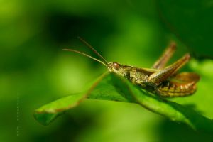 life on the meadow - Grasshopper by SvitakovaEva